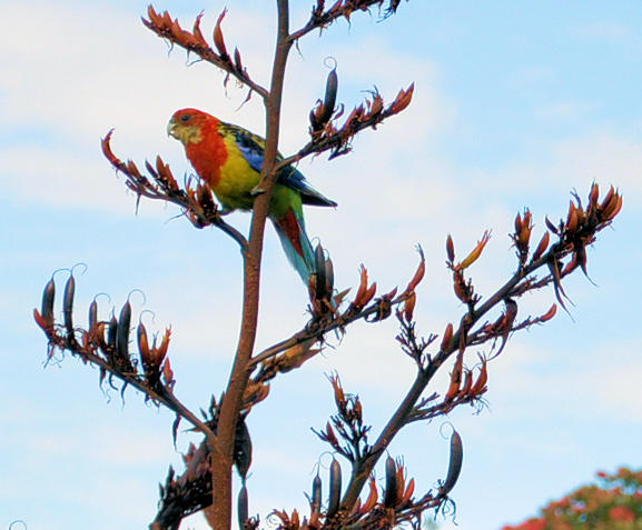 Rosellas in the flax